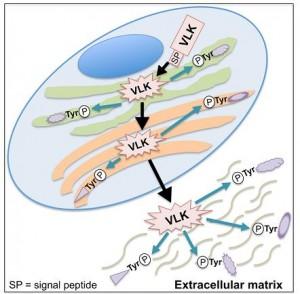 VLK 단백질은 세포(하늘색 원) 밖으로 분비돼 세포 밖 단백질의 티로신 인산화를 조절한다.  - 셀 제공